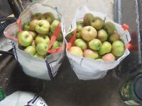 very large bag of bramley cooking apples x2 aprox 40lb in each £5 each