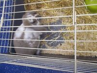 male lop eared rabbit for sale £25