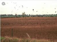 Free crow/ pigeon control