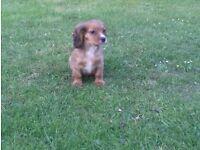 3/4 Cavalier puppies