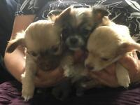 Chihuaha puppies for sale (long haired)