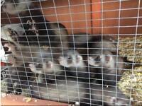 Ferret/polecat kits