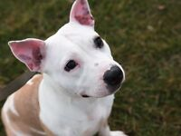 Staffordshire Bullt Terrier - Female - To a good home only