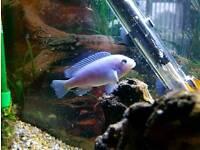Mbuna Cichlids Tropical Fish
