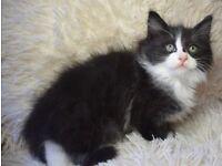 2 Lovely Fluffy Ragdoll/Persian Kittens Ready Now