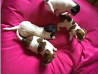 Jack Russell puppies pure bred