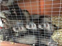Young ferrets/polecats