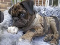 Merle pug puppy
