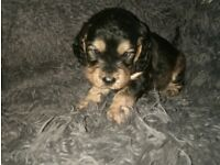 7 adorable cocker spaniel pups for sale, ready 26th Oct, beautiful colours