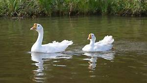 White Chinese Geese (Peel Ridge) Wynnum West Brisbane South East Preview