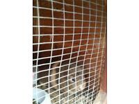 Guinea pigs for sale two male