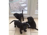 Black Labrador Puppies for Sale - KC Registered