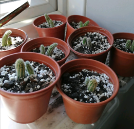 Small cactus plant 1. 50
