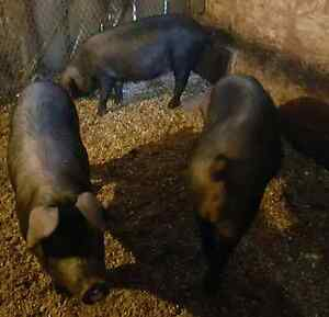 Large Black sows exposed to boar Kingston Kingston Area image 2