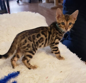 Bengal kittens, TICA Registered, Ready to go!!!
