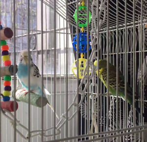 two beautiful, healthy and active budgies for sale