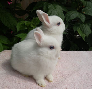 Purebred Holland lop and Netherland dwarf bunnies from the breed