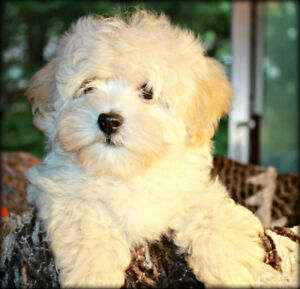 HAVANESE PUPPY AVAILABLE