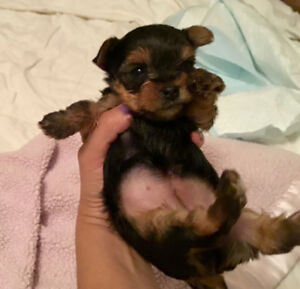 Beautiful Yorkie girl looking for a loving family