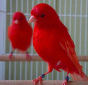 Male Red Factor Canaries