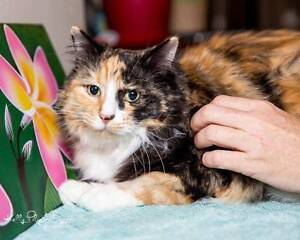 AC0376: Herb - CAT for ADOPTION - Vet work included Canning Vale Canning Area Preview