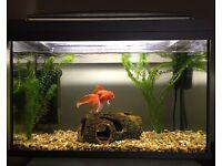 Fancy Goldfish & 60L Tank