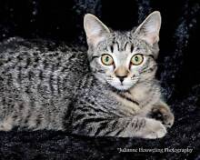 Katniss - KITTEN KAPERS RESCUE Cleveland Redland Area Preview