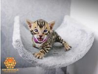 **Top Quality Pedigree Bengal Kittens**