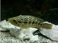 Jaguar cichlids pair. Tropical fish cichlid