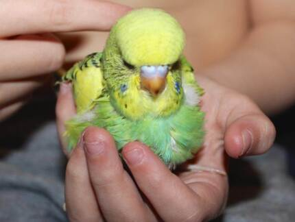 ~ 10 MIX COLOUR BABY BUDGIES $50 EACH - ALL FULLY HANDRAISED ~ Kenwick Gosnells Area Preview