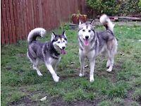 Sibirien Husky puppy boy