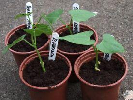 "Dwarf French Beans ""Stanley"" Plants in 9cm Pots 50p each"