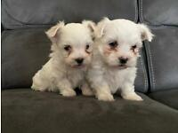 Maltese Pups IKC Registered