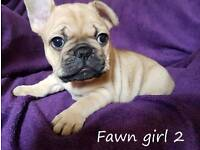 Pedigree fawn French bulldogs