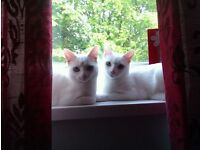 Two adult female cats free to a good home