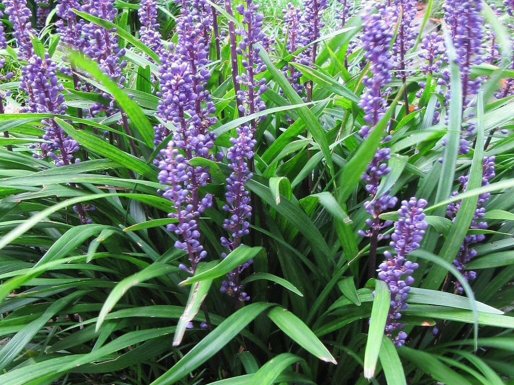 Big Blue Liriope Lilyturf Monkey Grass Live Plant Quart