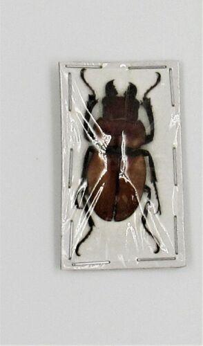 Lot of 10 Stag Beetle Odontolabis sommeri sommeri Amphiodonte 30-35mm Male