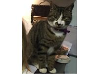 MISSING: Grey Tabby Cat with white socks and a 'moustache'