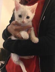 Beautiful Kitten For Sale