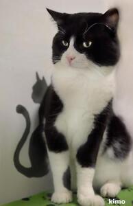 """Adult Male Cat - Tuxedo: """"Kimo"""""""