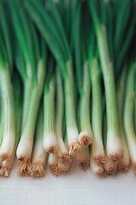 Onion Ishikura Bunching - 1000 seeds - Vegetable