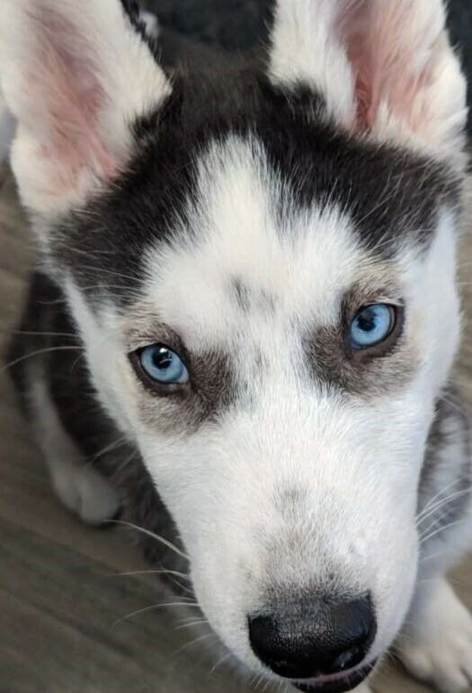 5 Month old Male Husky | in Newcastle, Tyne and Wear | Gumtree