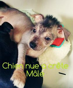 Chien chinois nu a crête