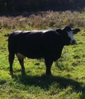 6 purebred polled black Simmental cows