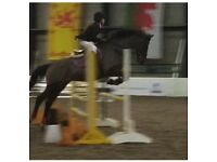 Fantastic 16'2hh tb x warm blood mare for sale