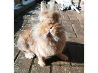 Lion cross Netherland dwarf doe (female) bunny