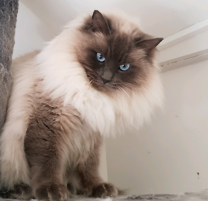 Ragdoll desexed male needs a forever home