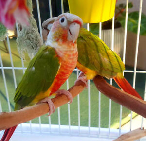 Bebes NAM Pineapple-Anana et Turquoise Conures