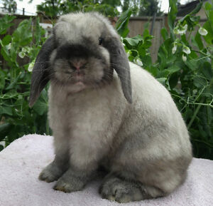 Purebred junior Holland lop bunnies