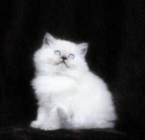 Beautiful Persian Himalayan  kittens for their new homes =ටᆼට=